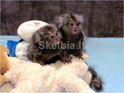 Du kūdikis Beždžionės beždžionės