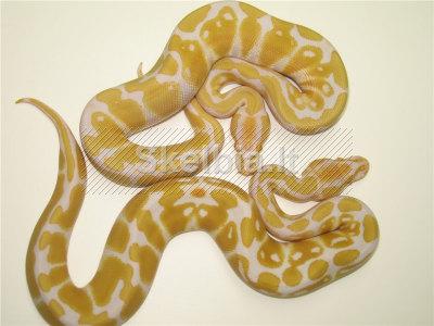 Albino ir margi Ball Python pardavimas