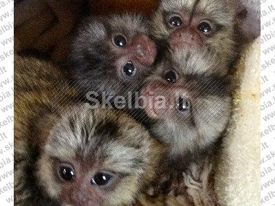 Titi beždžionės parduoti