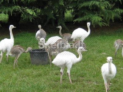 Strausų Emu kiaušiniai Ree kiaušiniai ir jų viščiukai