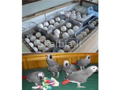 Papūgos ir derlingos papūgos kiaušiniai