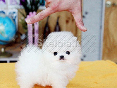 maži Pomeranijos šuniukai