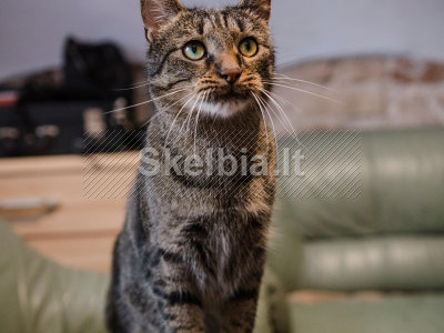 Dovanojamas labai meilus ir draugiškas katinas