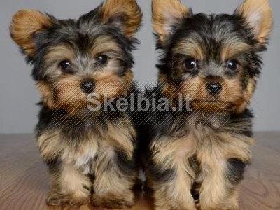 Mieli ir žavūs Jorkšyro terjerų šuniukai
