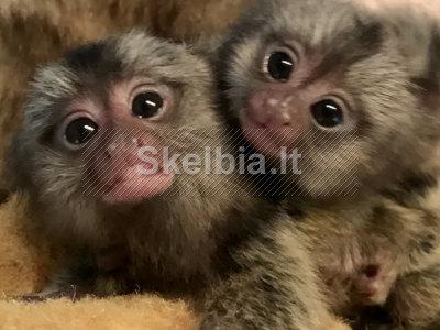 parduodamos beždžionės kūdikių pirštinės